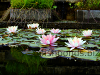 Fish pond - water lilies, resized image 1