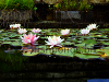 Fish pond - water lilies, resized image 2