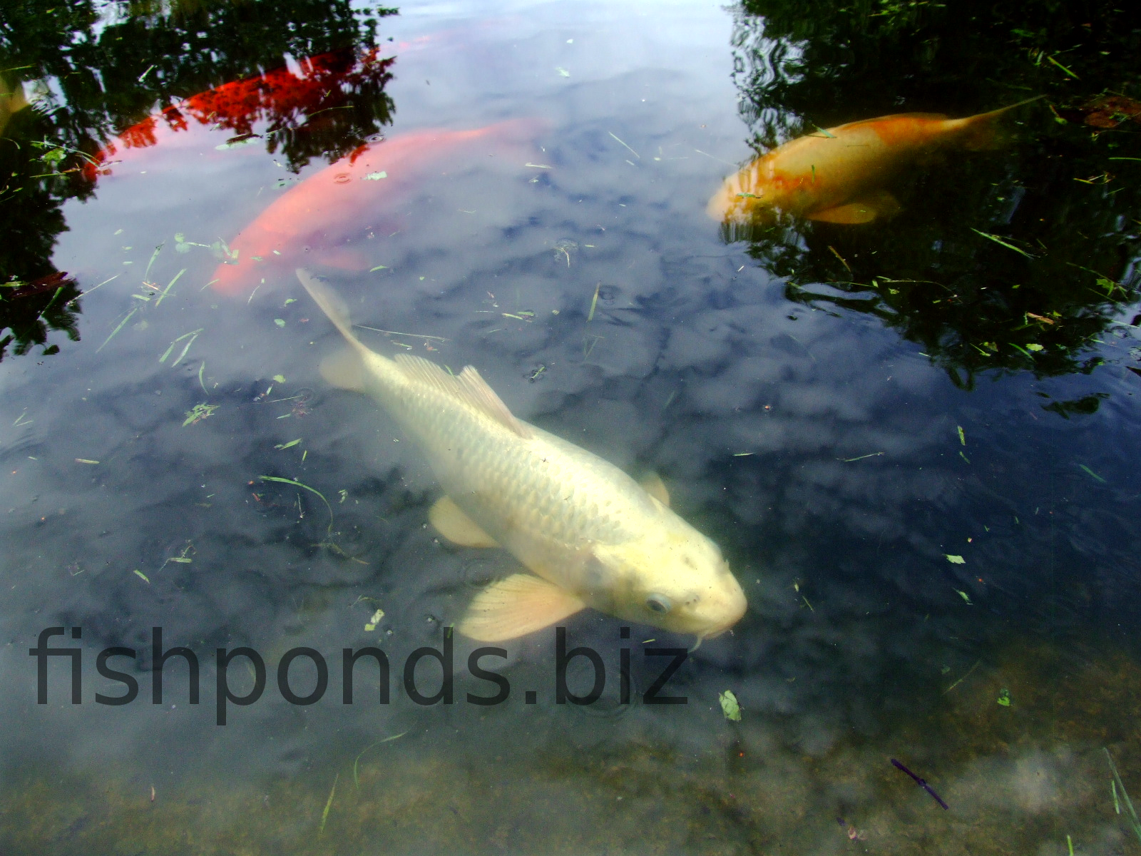 Stocking your fish pond for Fish suitable for small pond