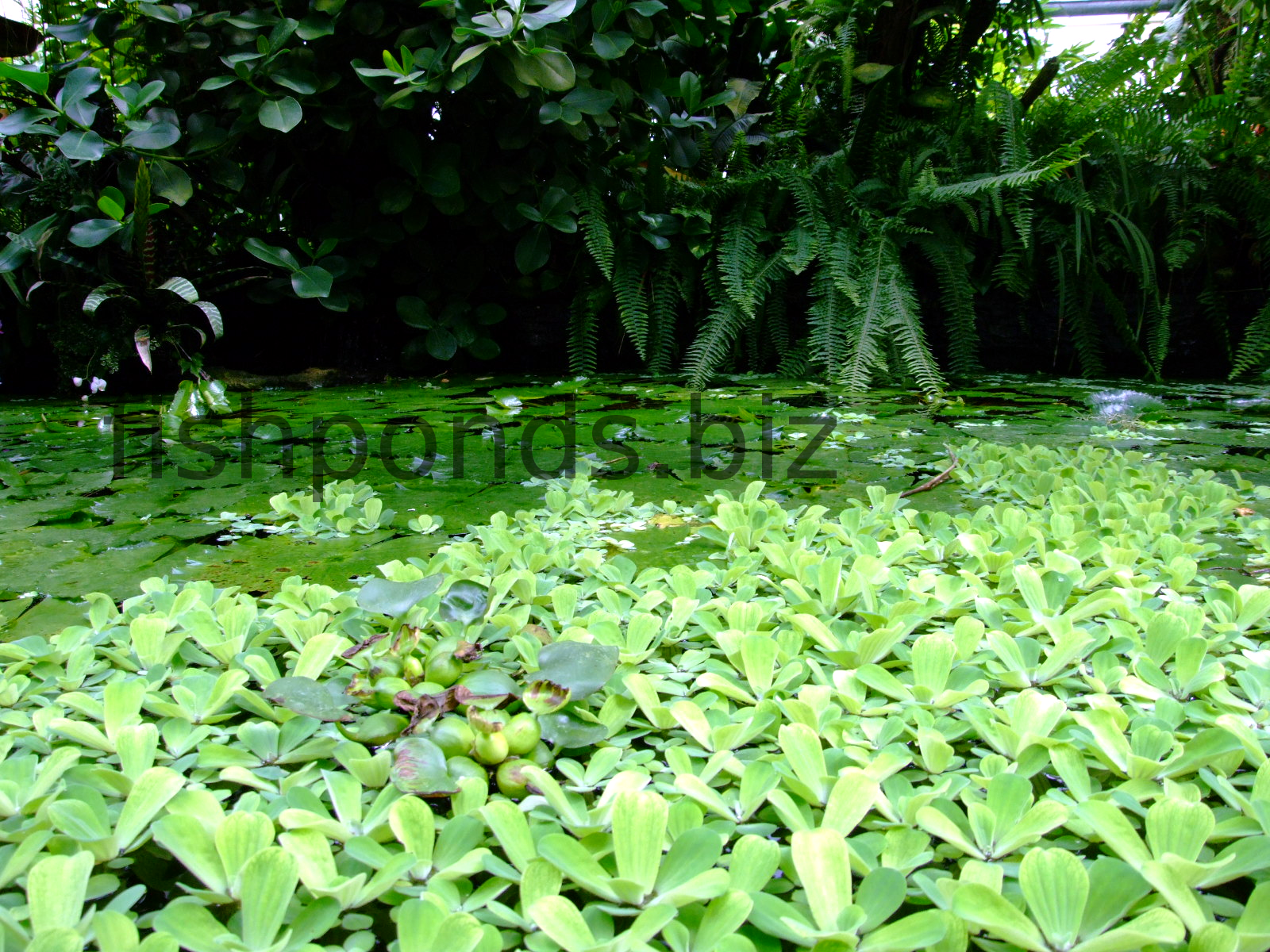 Fish Pond Plants Guide And Species