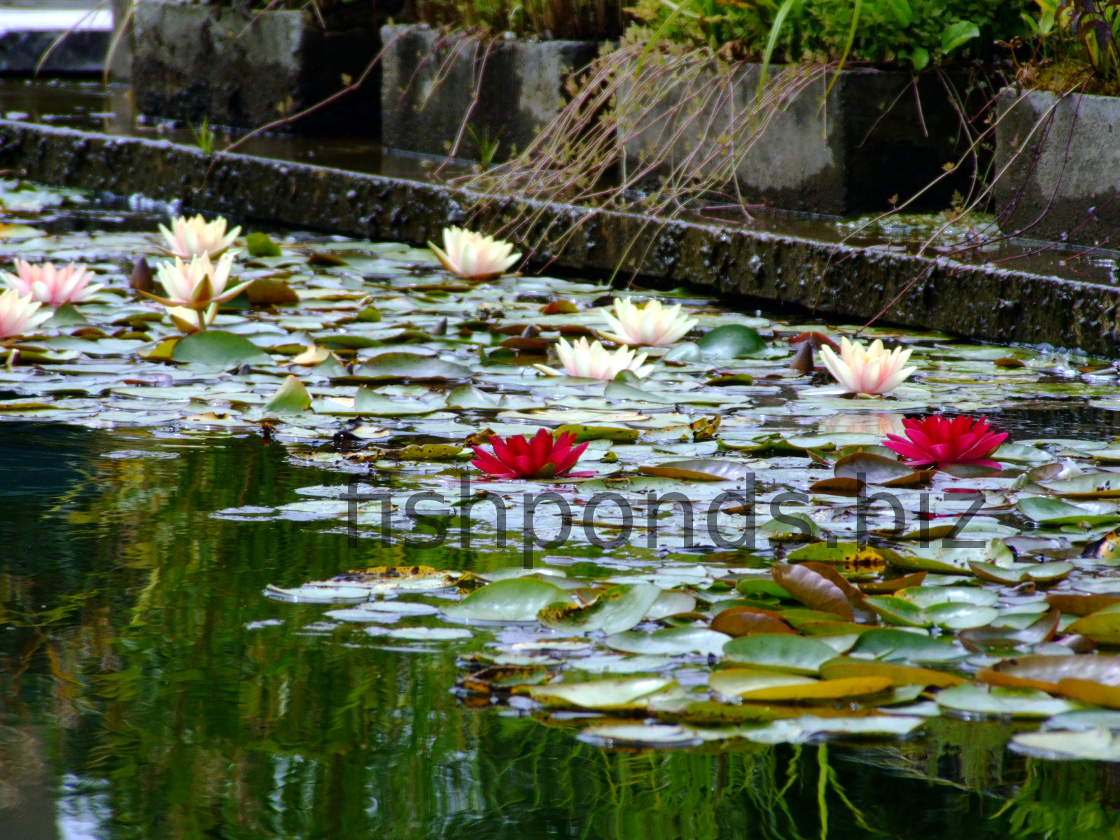 Fish pond plants guide and species for Garden pond fish