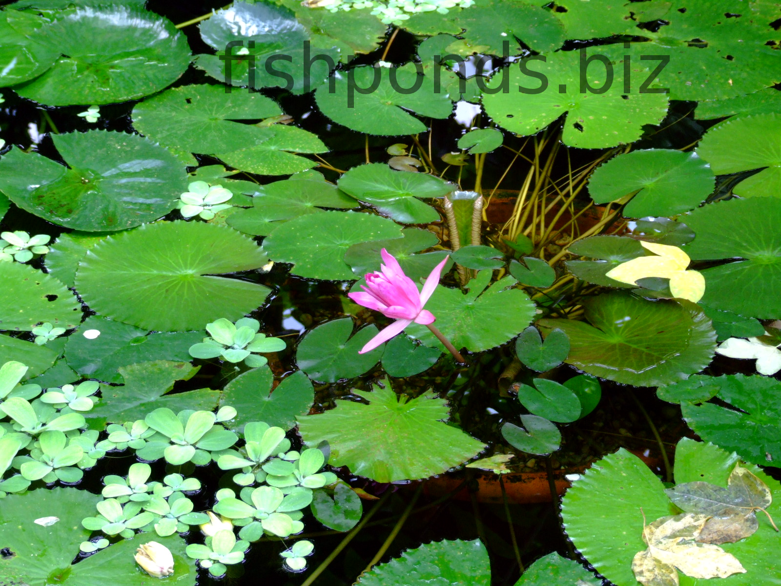 Fish pond plants guide and species for Pond fish varieties