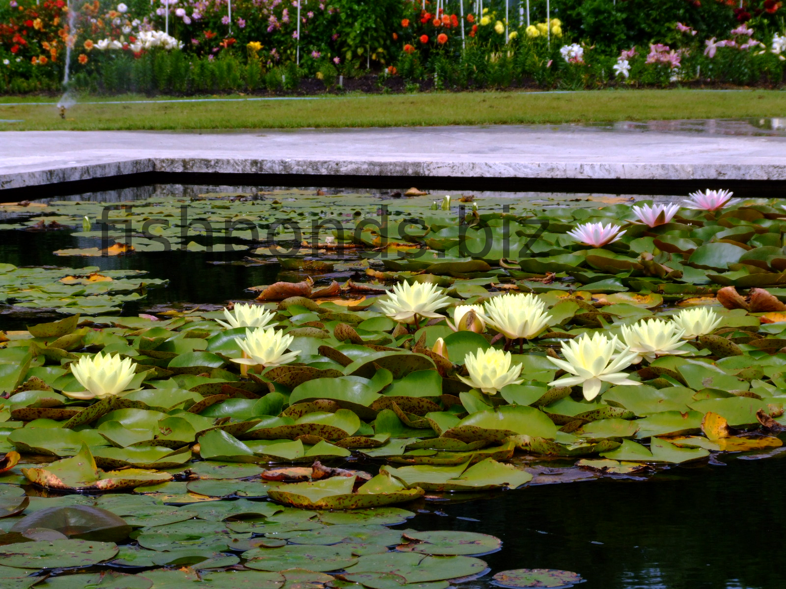 Fish pond plants guide and species for Beneficial pond plants