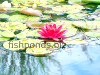 Water lilies, resized image 1