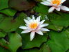 Water lilies, resized image 3
