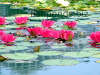 Water lilies, resized image 4