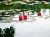 Water lilies, resized image 5