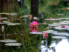 Water lilies, resized image 6