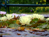 Water lilies, resized image 7
